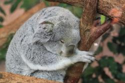 koala, fauna, animals, sleep, nap