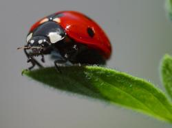 ladybug, beetle, red, points, lucky charm, luck