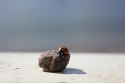 ladybug, stone, the insect, pebbles