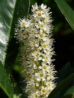 laurel blossom, laurel, plant, bush, flower, bloom