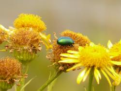 leaf beetle, oreina cacaliae, green, iridescent, insect