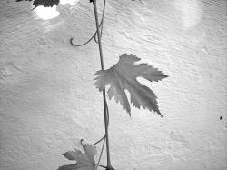 leaf, screw, wine, plant, creeper, leaves