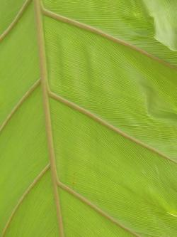 leaf veins, journal, large, green, philodendron