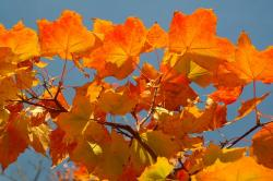 leaves, autumn, fall color, maple, acer platanoides