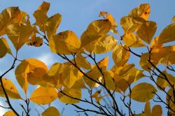 leaves, yellow, autumn, fall foliage, coloring