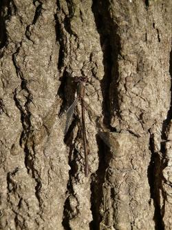 lestes viridis, dragonfly, insect, common weidenjungfer