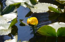 lily pad, leaves, water, yellow, flower, nature, plant