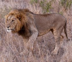 lion, south africa, savannah