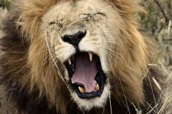 lion, yawn, king of the jungle, africa, south africa