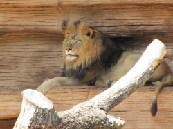 lion, zoo, animal, resting