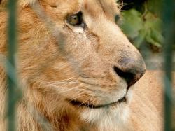 lion, zoo, big cat, looking, eyes, portrait