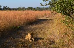 lions, animals, africa, wildlife, track, bush