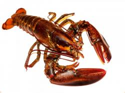 lobster, lobsters, live, food, meal, meals, mealtime