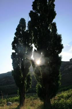 lombardi poplars, two trees, tall, green, sun peering