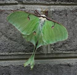 luna, moth, green, insect, night