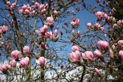 magnolia, flowers, plant, garden, tree, spring, nature