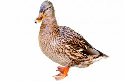 mallard, duck, water, side, profile, game bird, bird