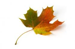 maple, leaf, color, autumn, fall, colorful, red, green