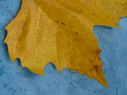 maple leaf, edge, jagged, yellow, macro, close