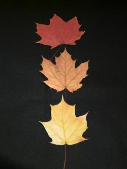 maple leaves, fall leaves, pressed, color levels, maple