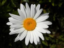 marguerite, flower, bloom, white