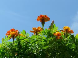 marigold, flowers, sky, blue, marigolds