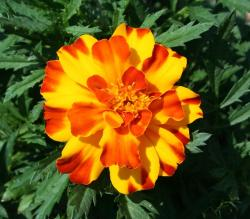 marigold, orange, yellow, flower, summer