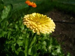 marigold, yellow, summer, garden, green