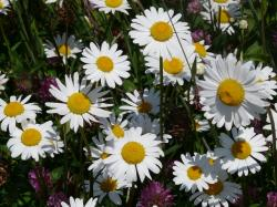 meadows margerite, leucanthemum vulgare, flower, bloom