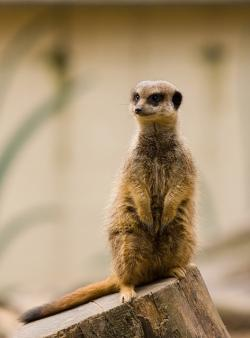 meerkat, animal, wildlife, nature, cute, outdoors