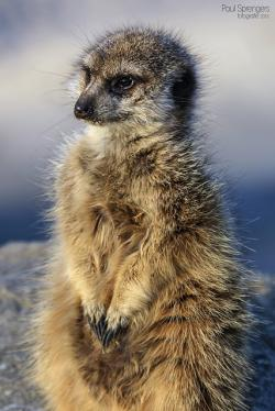 meerkat, nature, animals, mammal, wild, zoo