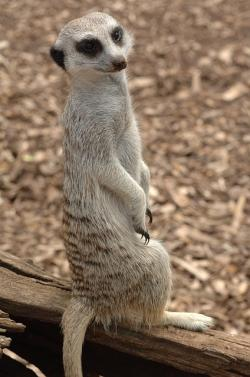 meerkat, standing, animal, closeup, cute, wildlife