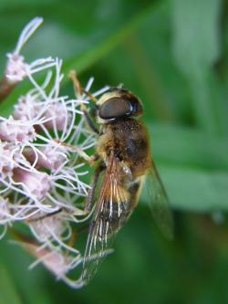 mist bee, eristalis tenax, fly, insect, nature, animal