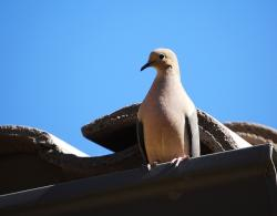 mom dove, southwest, bird, feather, fly, doves, wild
