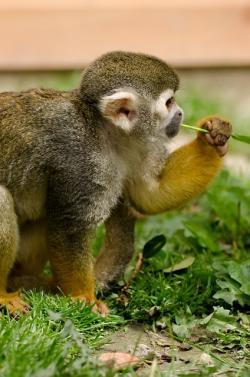 monkey, amazon, squirrel, rainforest, tree, snout