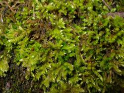 moss, juicy, wet, green, plant, nature