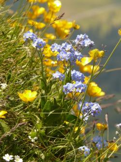 mountain flowers, mountain flower, forget me not