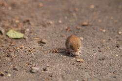 mouse, field mouse, animal