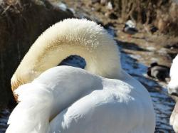 mute swan, swan, clean, bird, river, see, waters, water