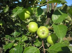 nature, fruits, and, vegetables, apple, green