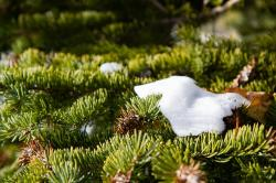 nature, pine, snow, winter, green, white, frost