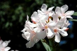 nature, plant, oleander, white, flower, petals