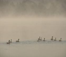 nature, spring, morning, water, fog, ducks