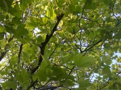 nature, tree, leaves