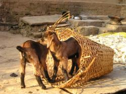 nepal, goats, small, young, cute, brown, playful