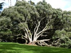 new zealand, auckland, tree, crown, park, meadow