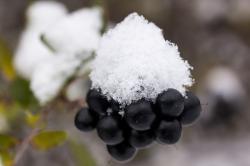 new zealand, snow, white, black, berries, transition