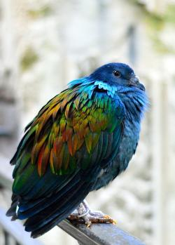 nicobar pigeon, bird, animal, wildlife