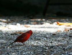 northern cardinal, red bird, feathers, flight