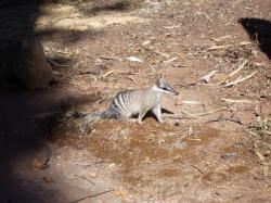 numbat, ants beutler, rodent, animal, tail, fur, furry